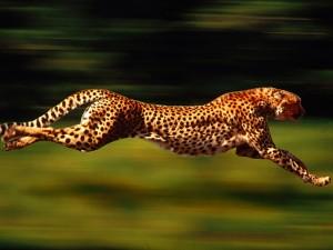 kenetic cougar