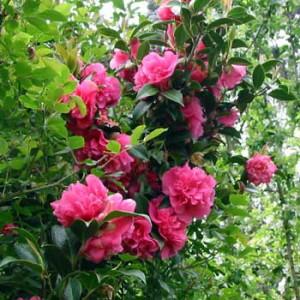 pink-camellia-flower