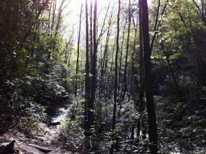 Hemlock--forest_sun