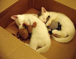 dream kitten