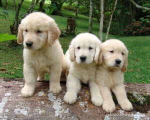 Dream Golden Retriever