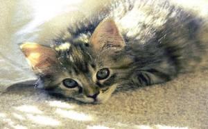 animal totem kitten