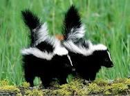 animal totem skunk