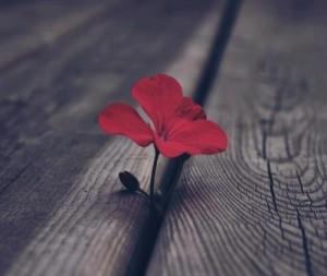 red flower through boardwalk